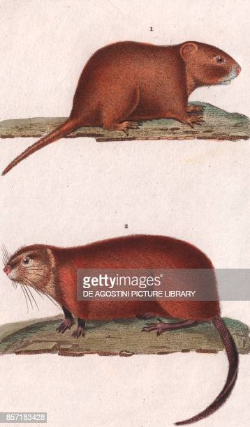 1 Pocket gopher 2 Muskrat colour copper engraving retouched in watercolour 9x15 cm from Dizionario delle scienze naturali compilato da vari...
