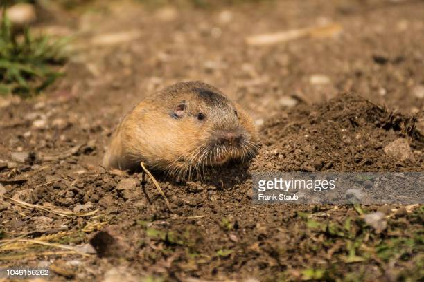 pocket gopher - mt lemmon stock photos and pictures