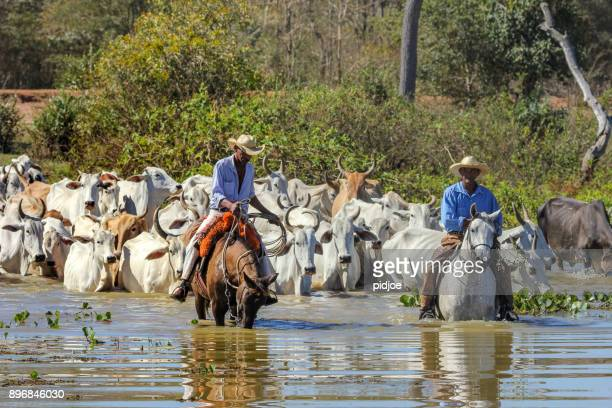 "pocone, brazil : cowboy riding on horse is herding cattle in pantanal wetlands in brazil. the pantanal wetlands are the largest tropical wetlands in the world.""n""n - pantanal wetlands stock photos and pictures"