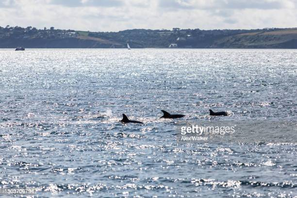 pod of dolphins surfacing in calm waters - falmouth england stock pictures, royalty-free photos & images