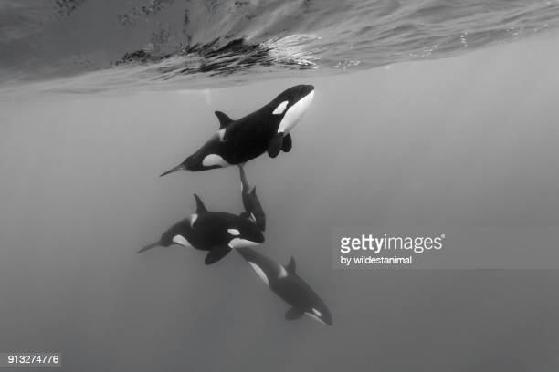 pod of female orcas, killer whales, swimming with a young calf. - killer whale stock pictures, royalty-free photos & images