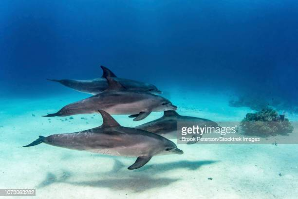 A pod of four dolphins swim playfully in the Red Sea.