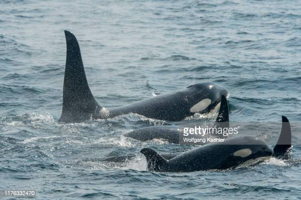 Pod of Killer whales or orcas is swimming in Chatham Strait, Alaska, USA.