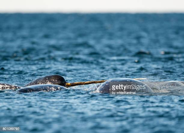 pod of narwhals feeding on the surface with one male showing off it's tusk, northern baffin island, canada. - narwhal stock photos and pictures