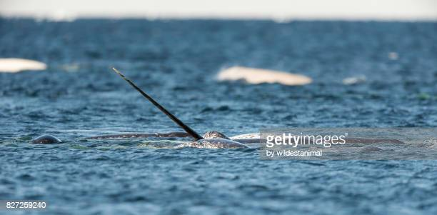 pod of narwhals feeding on the surface with one male showing off it's tusk at the surface, baffin island, canada. - narwhal stock photos and pictures