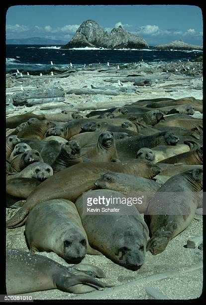 Pod of Northern Elephant Seals on Beach