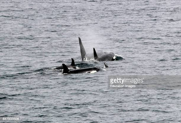 A pod of Orca Whales 'Killer Whales' in Sitka Sound Sitka Southeast Alaska USA