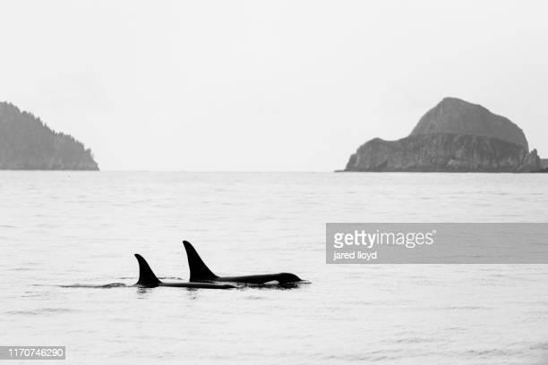a pod of orcas (killer whales) swimming through kenai fjords national park - golfo do alasca imagens e fotografias de stock