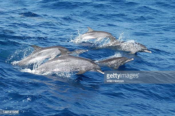 Pod of pantropical spotted dolphins on the move Stenella attenuata Characteristic whitetipped lips evident Young dolphin at top of group has not yet...