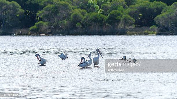 pod of pelicans standing in lake, mallacoota, victoria, australia - mallacoota stock pictures, royalty-free photos & images