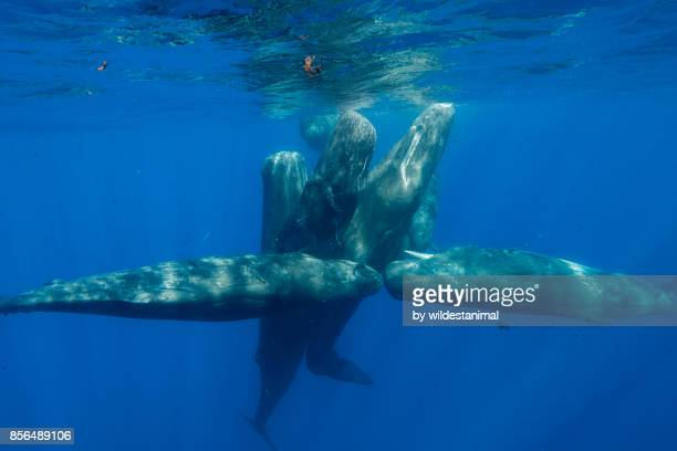 pod of sperm whale calves and juveniles in a social group, north western mauritius, indian ocean. - aquatic mammal stock pictures, royalty-free photos & images