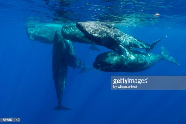 Pod of sperm whale calves and juveniles in a social group, north western Mauritius, Indian Ocean.