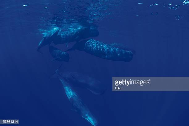 A Pod of Sperm Whales Swimming Underwater