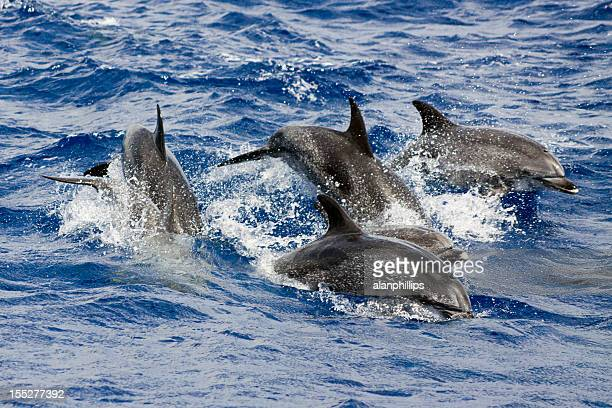 Pod of wild dolphins playing and splashing in the sea.