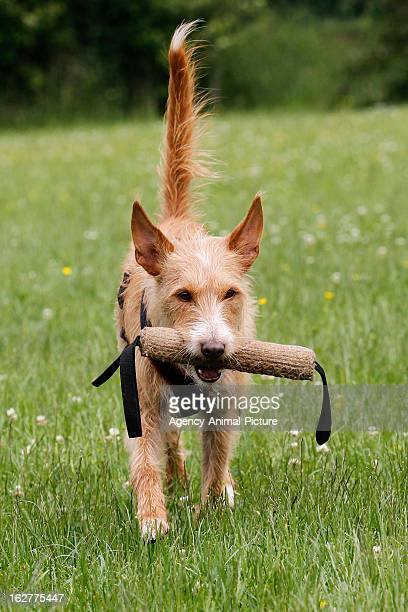 Podenco with a stick in his mouth in the English Garden on March 08, 2012 in Munich, Germany.