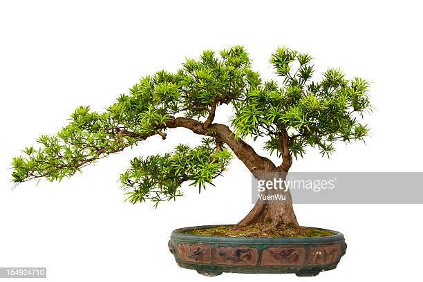 podocarpus macrophyllus (kusamaki or inumaki) bonsai - bonsai tree stock pictures, royalty-free photos & images