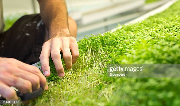 A PodPonics Inc employee harvests microgreens from a pod farm container in Atlanta Georgia US on Friday Aug 12 2011 'There's a major trend that has...