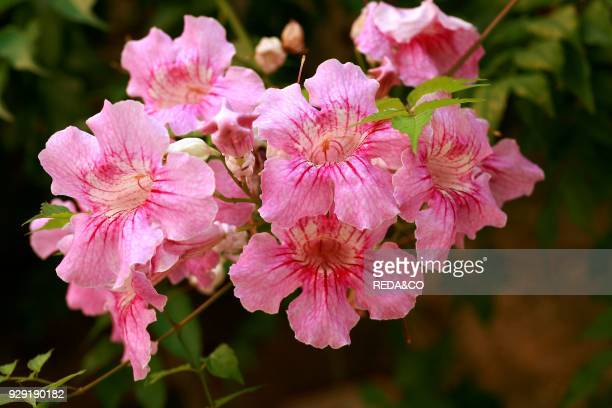 Pink trumpet vine stock photos and pictures getty images podranea ricasolianapink trumpet vine mightylinksfo