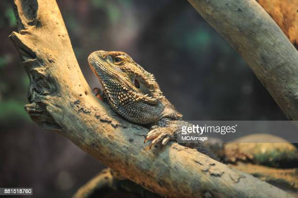 a pogoda vitticeps(bearded dragon) resting on a piece of wood - bearded dragon stock photos and pictures