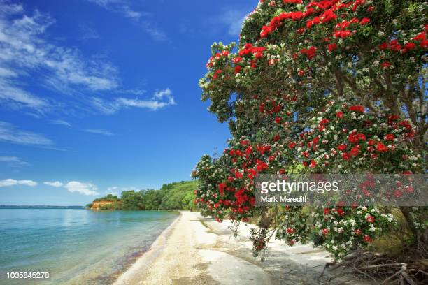 pohutukawa blossoms at awhitu regional park beach on the awhitu peninsula in franklin country near auckland - non urban scene stock pictures, royalty-free photos & images