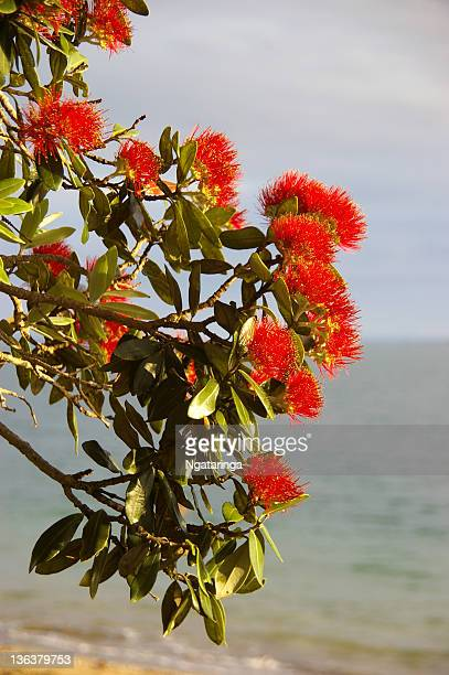 Pohutukawa flower branch