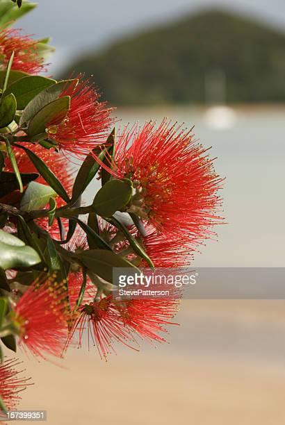 Pohutukawa flower on Paihia foreshore
