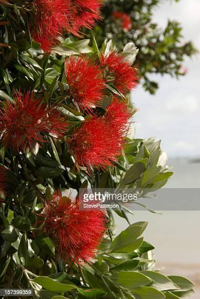 Pohutukawa flowers on Paihia foreshore