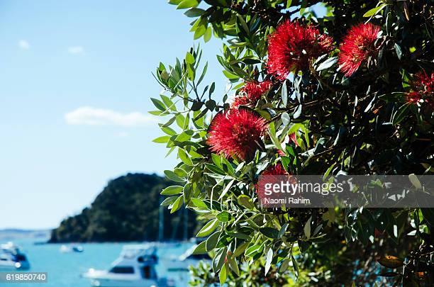 Pohutukawa tree at Russell beach, Bay of Islands