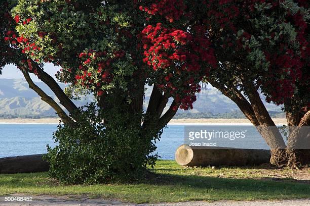 Pohutukawa tree at the beach