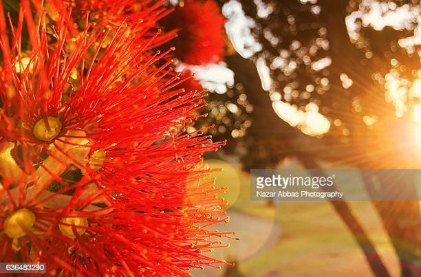 Pohutukawa Tree flower with sunlight in background.