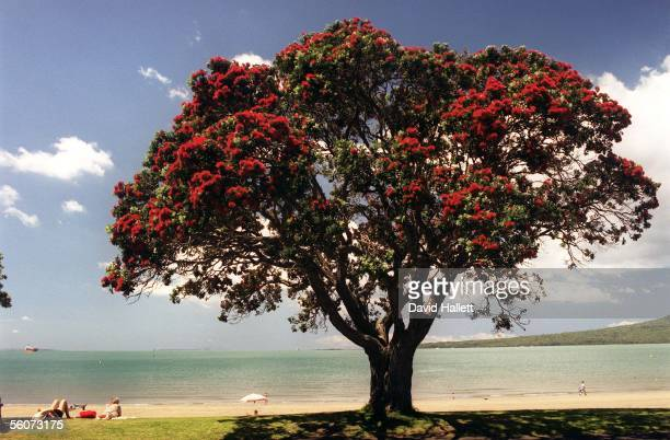 Pohutukawa tree in flower at Narrow Neck Beach Auckland