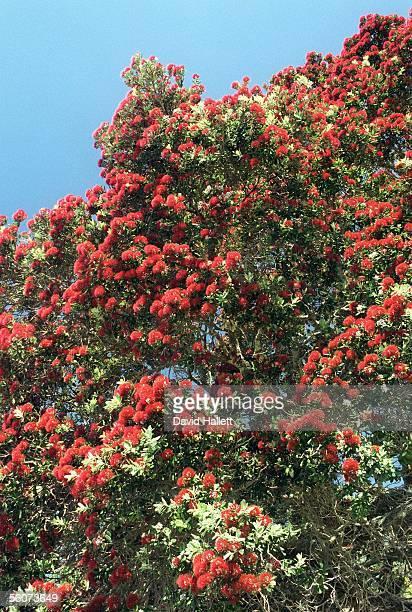 Pohutukawa tree in flower at Narrow Neck Beach Auckland