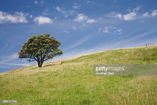Pohutukawa tree on Hill