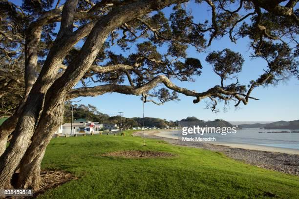 Pohutukawa tree on Oakura beachfront, Northland, New Zealand