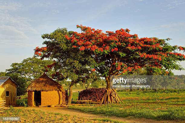 poinciana tree - nigeria stock pictures, royalty-free photos & images