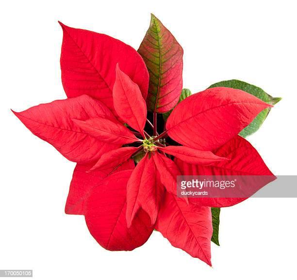 ポインセチアクリスマスフラワー白で分離