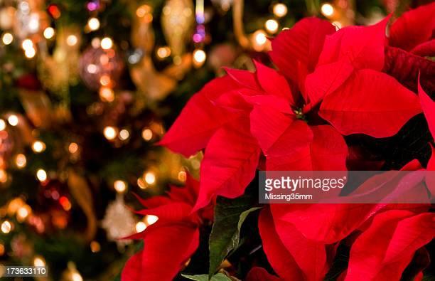 Flor de nochebuena & luces de Navidad de fondo