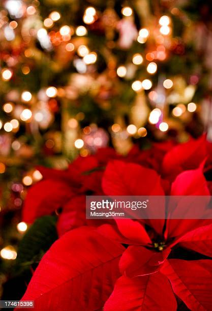 poinsettia & christmas lights background - christmas star stock photos and pictures