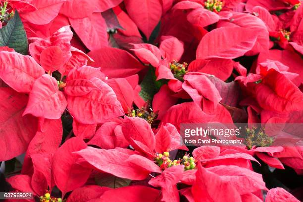 Poinsettia Christmas plants