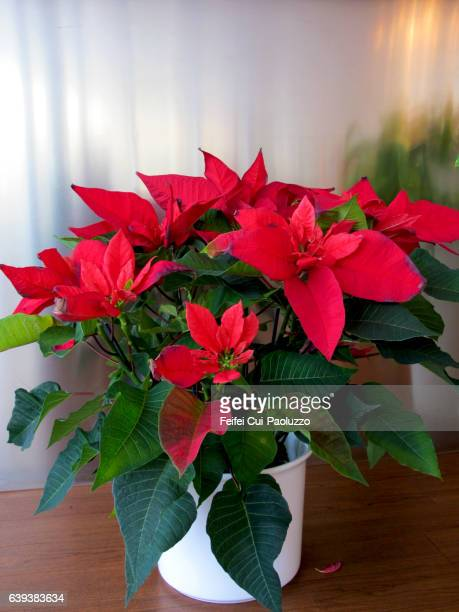 poinsettia flower in pot - christmas star stock photos and pictures