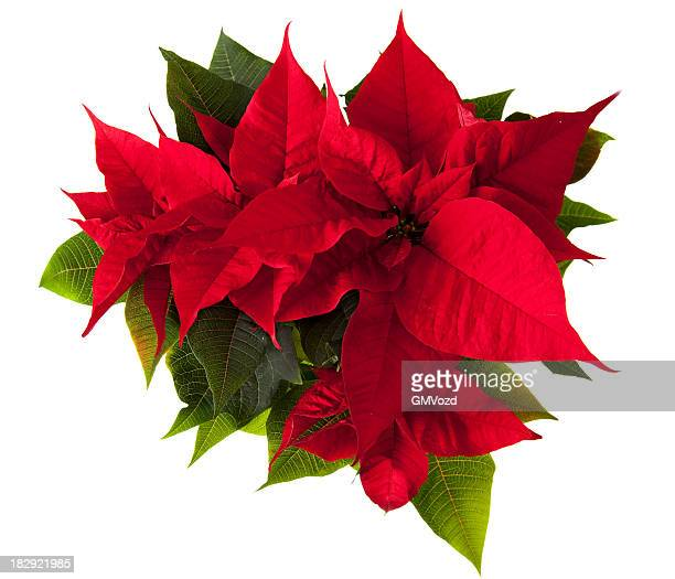 poinsettia flower - christmas star stock photos and pictures