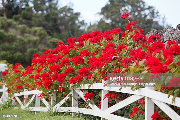 Poinsettia hedge growing along white picket fence