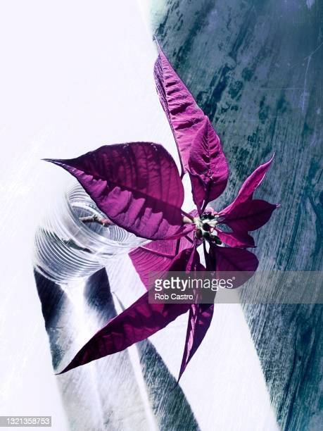 poinsettia in a drinking glass - rob castro stock pictures, royalty-free photos & images