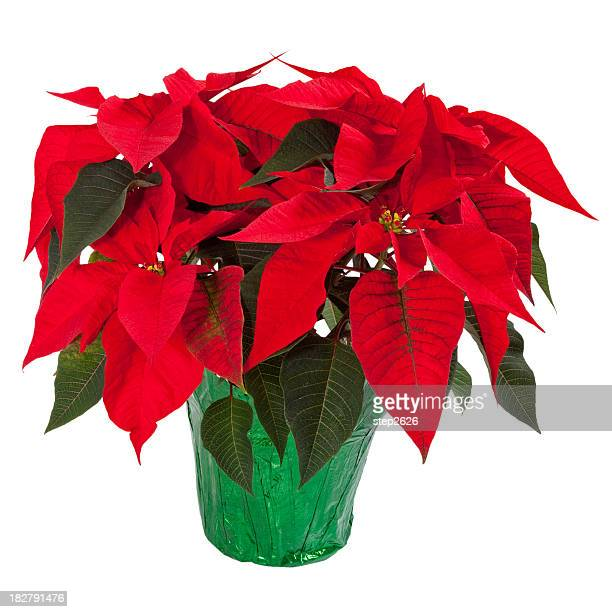 poinsettia isolated on white - christmas star stock photos and pictures