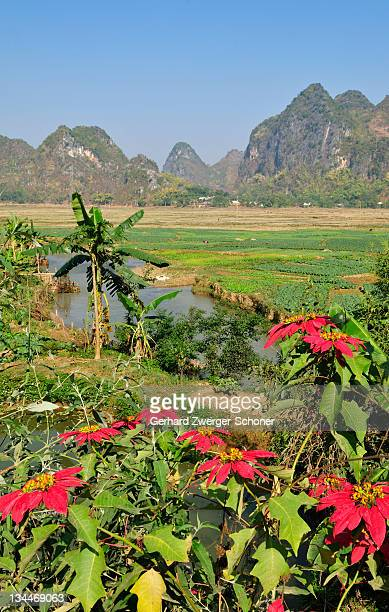 poinsettia (euphorbia pulcherrima), mai chau valley, vietnam, asia - noche buena stock pictures, royalty-free photos & images