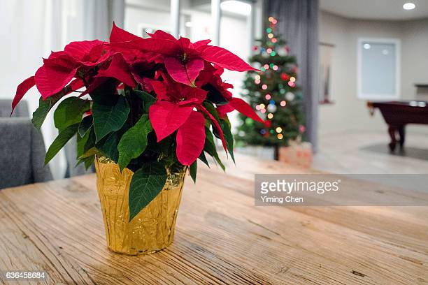 poinsettia on christmas - mexican christmas stock photos and pictures