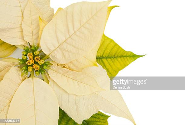 poinsettia on white - christmas star stock photos and pictures