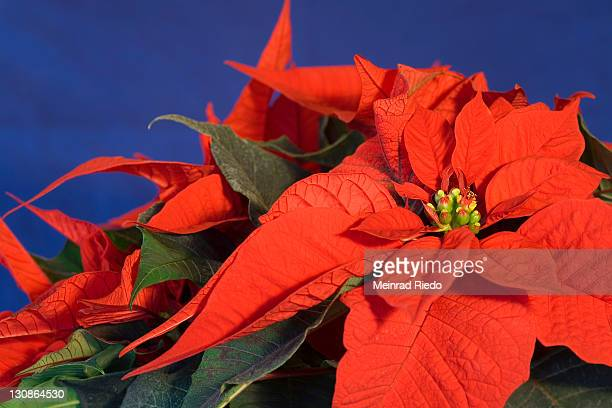 poinsettia or christmas star (euphorbia pulcherrima) - noche buena stock photos and pictures