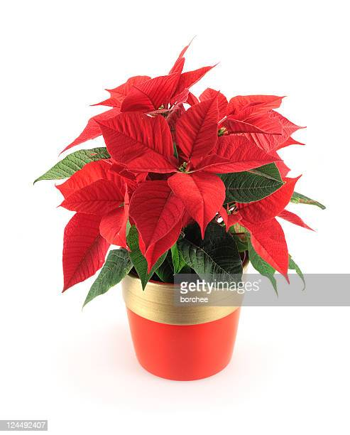 poinsettia - christmas star stock photos and pictures