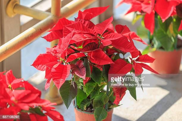 poinsettia (common poinsettia ; x'mas flower) - flor de pascua fotografías e imágenes de stock